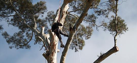 Arborist tree climbing experts
