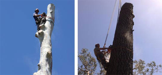 Chopping Large Trees Using Cranes and Ropes