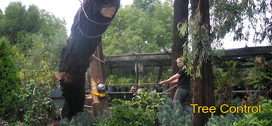 Tree Control using ropes and lowering equipment